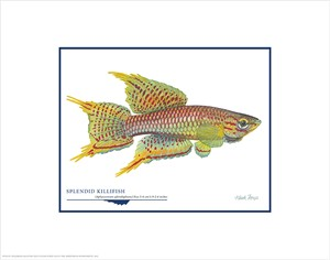 "Flick Ford Open Edition Giclée Print on Paper:""Splendid Killifish"""