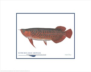 """Flick Ford Open Edition Giclée Print on Paper:""""Super Red Asian Arowana"""""""