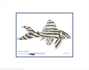 "Flick Ford Open Edition Giclée Print on Paper:""Zebra Pleco"""