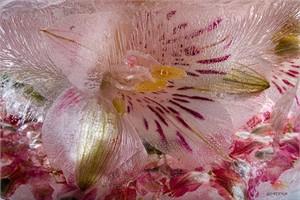 "Mo Devlin Open Edition Gallery Wrapped  Fine Art Canvas Giclée:""Alstromeria on Petal Confetti"""
