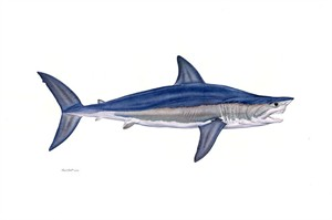 "Flick Ford Hand Signed and Numbered Limited Edition Masterwork Canvas Giclee:""Alpha Shortfin Mako"""