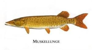 "Flick Ford Artist Handsigned Open Edition Giclee Print on Paper :""Muskellunge"""