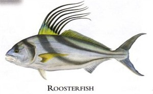 "Flick Ford Artist Handsigned Open Edition Giclee Print on Paper :""Roosterfish"""