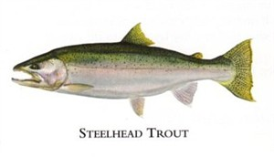 "Flick Ford Artist Handsigned Open Edition Giclee Print on Paper :""Steelhead Trout """