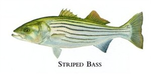 "Flick Ford Artist Handsigned Open Edition Giclee Print on Paper :""Striped Bass"""