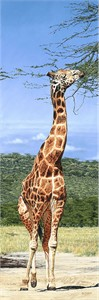 "Guy Combes Handsigned and Numbered Limited Edition Canvas:""Rothchild's Giraffe, Nakuru Park"""