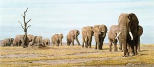"Simon Combes Limited Edition Fine Art  Museum Edition™ Giclée Canvas:""The Last Elephants"""