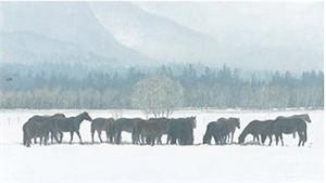 "Robert Bateman Handsigned and Numbered Limited Edition:""Winter Gathering  – Horse Herd """