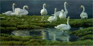 "Robert Bateman Limited Edition Print: ""Banks Of Swans"""