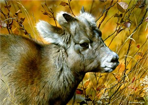 "Carl Brenders Limited Edition Print: ""Mountain Baby - Bighorn Sheep"""