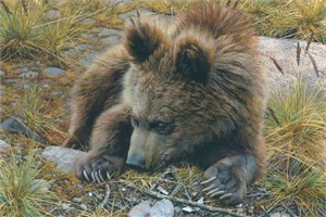 "Carl Brenders Handsigned & Numbered Limited Edition Print:""Bearly Awake"""