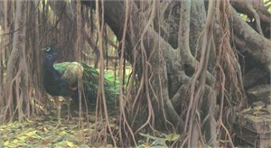 "Robert Bateman Handsigned & Numbered Limited Edition Canvas:""Banyan Walk- Peacock """