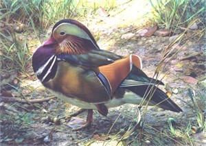 "Carl Brenders Handsigned & Numbered Limited Edition Print:""Mandarin Drake """