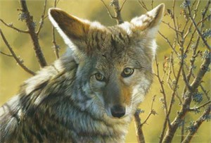 "Carl Brenders Handsigned & Numbered Limited Edition Print:""Home Field Advantage - Coyote"""