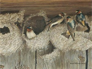 "Robert Bateman Handsigned & Numbered Limited Edition Print:""Under Construction - Cliff Swallows"""