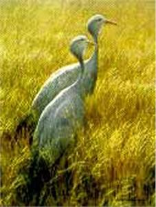 "Robert Bateman Limited Edition Paper Print:""Blue Cranes-Sappi"""