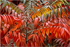 "Robert Bateman Limited Edition Paper Print:""Cardinal And Sumac Medallion Ed."""