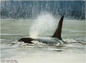 "Robert Bateman Limited Edition Paper Print:""Fluid Power - Orca"""