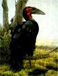 "Robert Bateman Limited Edition Paper Print:""Ground Hornbill - Sappi"""