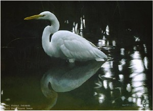 "Robert Bateman Limited Edition Paper Print:""Mangrove Shadow-Common Egret"""
