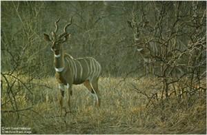 """Robert Bateman Limited Edition Paper Print:""""Meru Dusk - Lesser Kudu"""""""