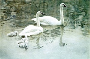 "Robert Bateman Limited Edition Print:""Trumpeter Swan Family"""