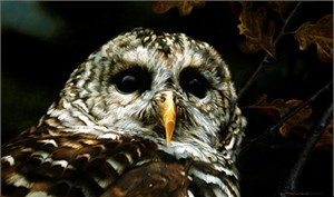 "Carl Brenders Limited Edition Print:""Up Close - Barred Owl"""