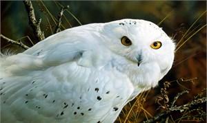 "Carl Brenders Limited Edition Print:""Amber Gaze-Snowy Owl"""