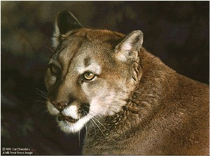 "Carl Brenders Limited Edition Print:""Close Up - Cougar"""