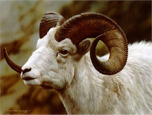 "Carl Brenders Limited Edition Print:""Dall Sheep Portrait"""
