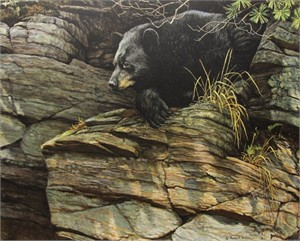 "Robert Bateman Hand Signed and Numbered Limited Edition Renaissance Giclee Canvas :""Watchful Repose Black Bear"""