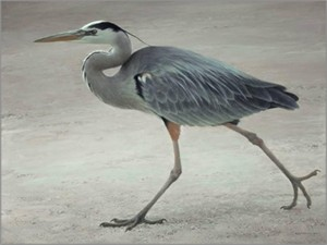 "Robert Bateman Hand Signed and Numbered Limited Edition Canvas Giclee:""Full Stride - Great Blue Heron"""