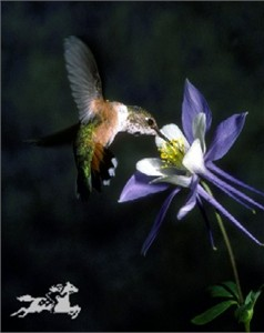 "Claude Steelman Giclee :""HUMMER ON COLUMBINE"""