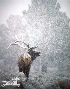 "Claude Steelman Giclee :""SNOWY BUGLE"""