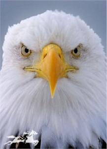 "Claude Steelman Giclee :""EAGLE PORTRAIT"""