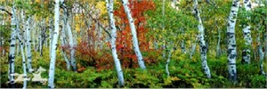 "Claude Steelman Giclee :""MAPLE & ASPEN PANORAMA"""