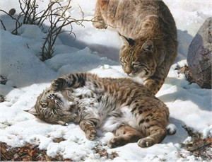 """Carl Brenders Hand Signed and Numbered Limited Edition Canvas Giclee:""""Love is in the Air - Bobcats"""""""