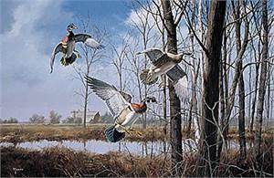 "David Maass Limited Edition Print:""Home Again-Wood Ducks"""