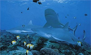 "Randall Scott Limited Edition Print:""Frenzy-Grey Reef Sharks"""