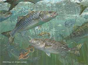 "Mark Susinno Hand Signed and Numbered Limited Edition Print: ""Atlantic Blitz – Striped Bass"""