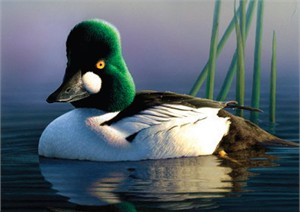 "Federal Duck Stamp Print 2013 Hand Signed and Numbered Limited Edition Artist Proof by Robert Steiner :""Common Goldeneye"""