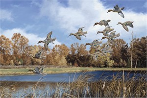 "David Maass Hand Signed & Number Limited Edition:""Swift Approach - Green Winged Teal"""